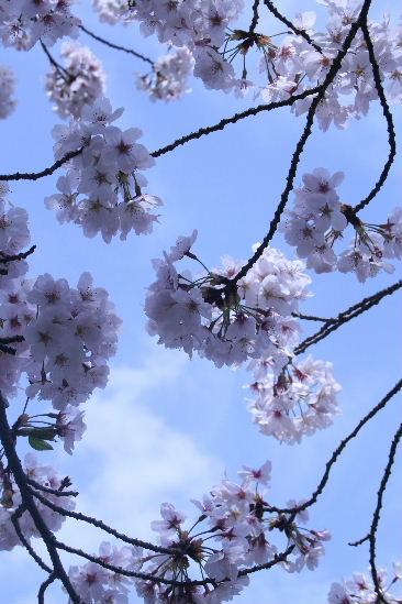 護国神社の桜_f0082141_10451277.jpg