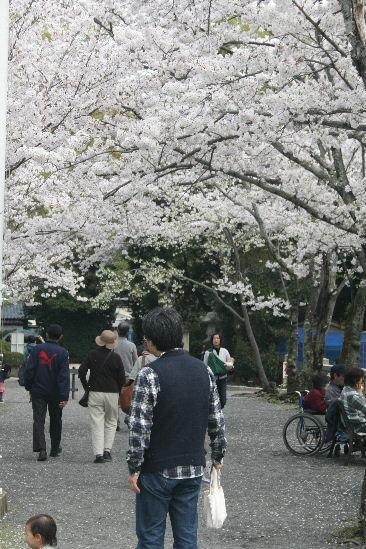 護国神社の桜_f0082141_10453657.jpg