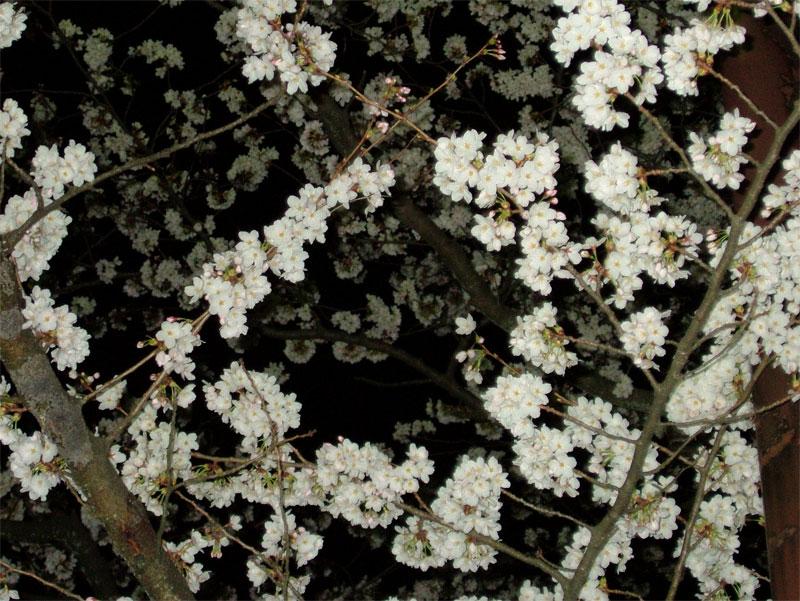 夜桜もまたよろし♪_c0110051_9405376.jpg