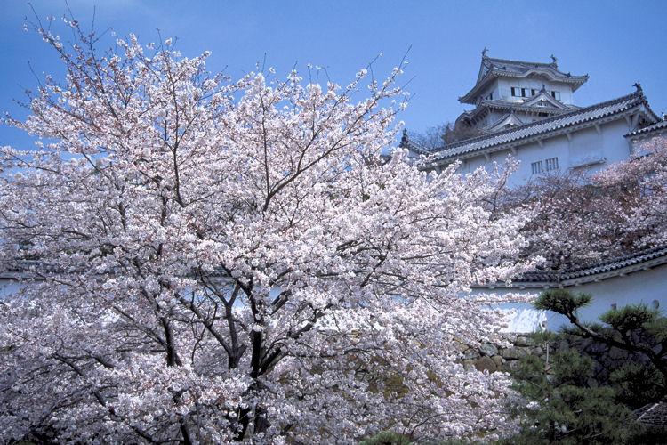 一番美しい桜_c0181552_1712739.jpg