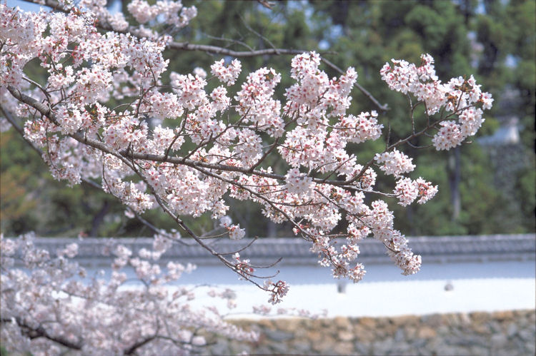 姫路城の桜_c0181552_6475445.jpg