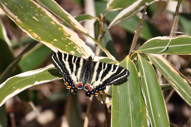 2011年4月の蝶_e0194952_2091453.jpg
