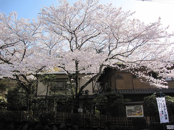 2011年4月13日桜実況中継_c0078659_1755585.jpg