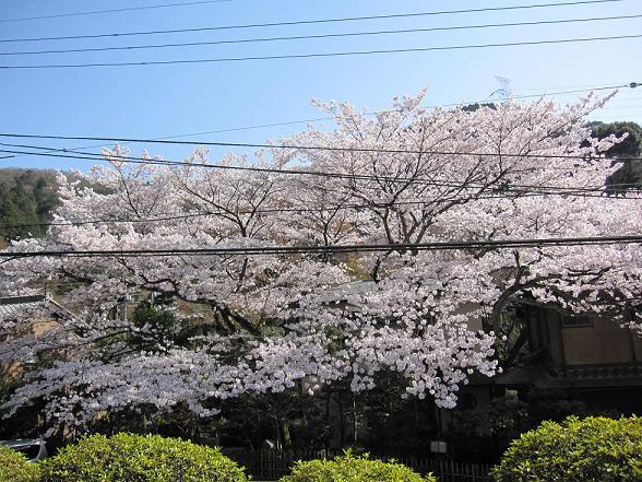 2011年4月13日桜実況中継_c0078659_1822771.jpg