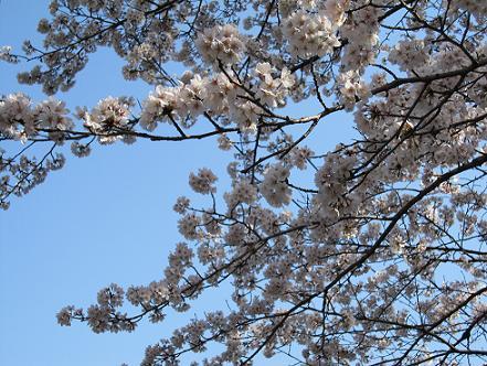 2011年4月13日桜実況中継_c0078659_1872440.jpg