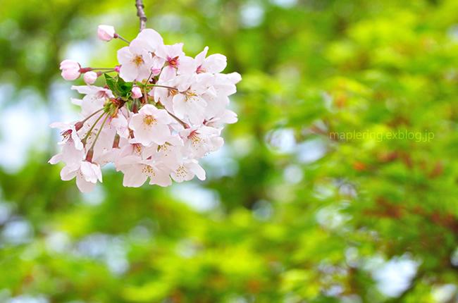 今年の桜②_f0234062_2023116.jpg