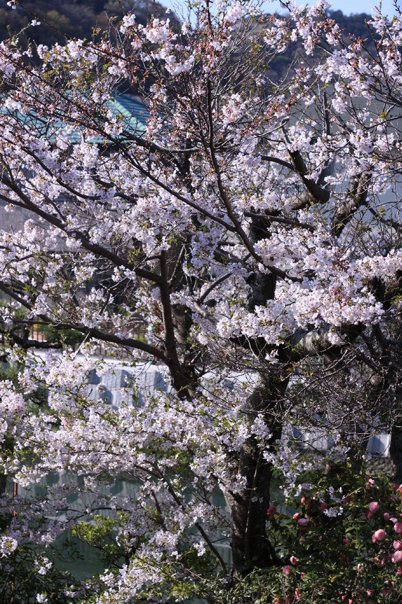 またまた桜♪_f0158364_8131285.jpg