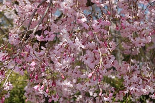 賀茂川の桜  2011年4月_a0164068_21294562.jpg