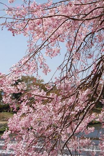 賀茂川の桜  2011年4月_a0164068_2130068.jpg