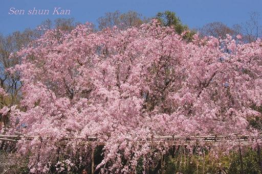 賀茂川の桜  2011年4月_a0164068_21302111.jpg
