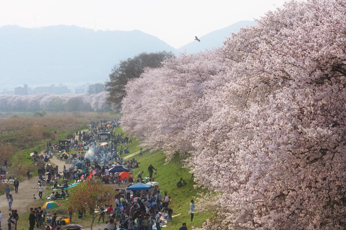 桜 2011 京都 <背割堤>_f0021869_21412555.jpg