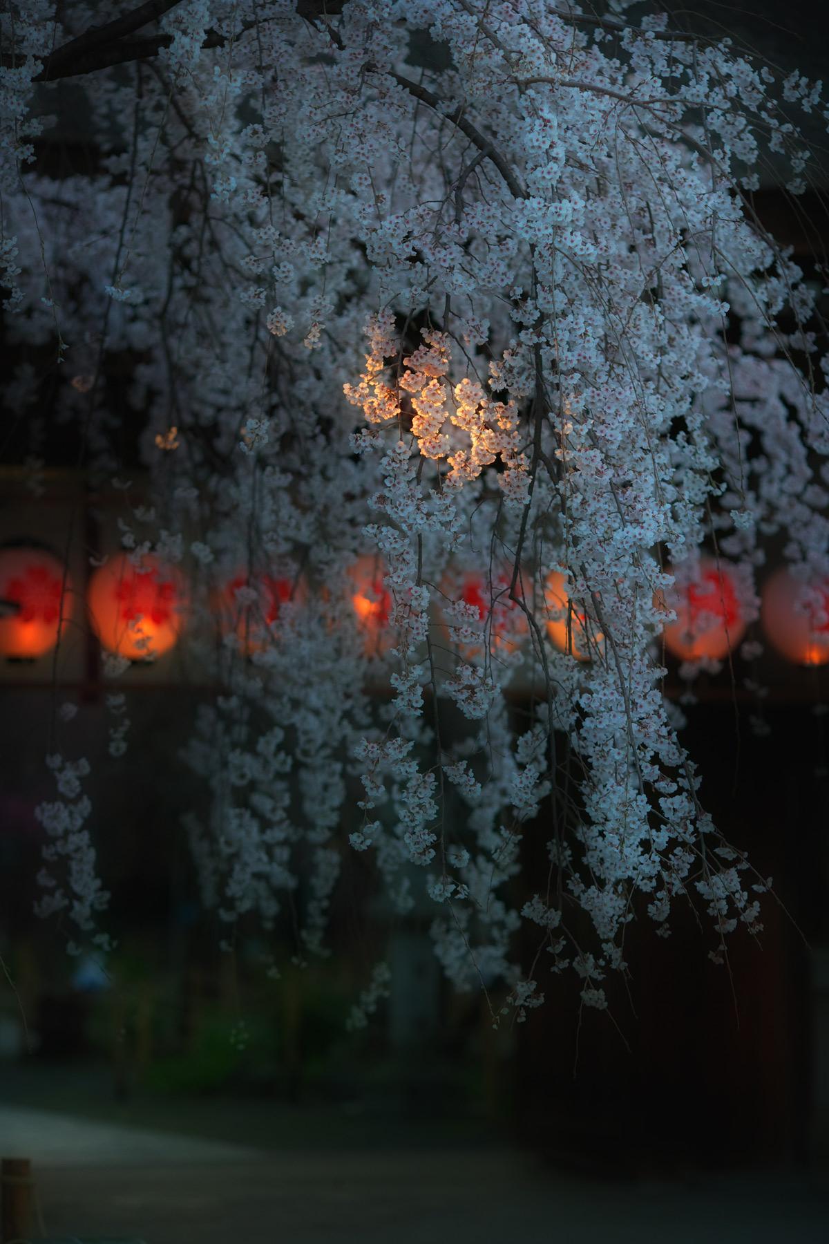 桜 2011 京都 <平野神社>_f0021869_2214179.jpg