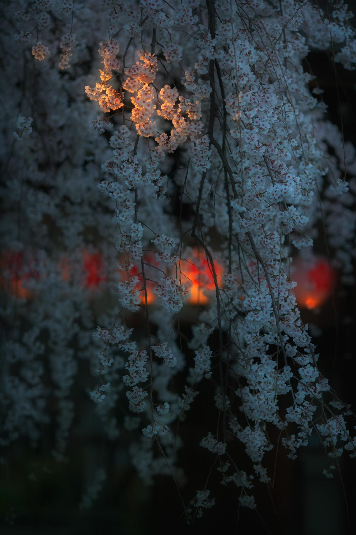 桜 2011 京都 <平野神社>_f0021869_222514.jpg