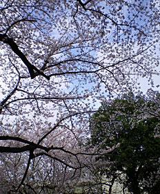 桜吹雪_b0195783_23223098.jpg