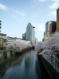 日本人と桜_c0019088_13223630.jpg