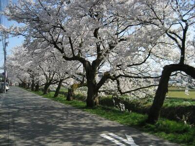 桜満開☆_c0113001_2035826.jpg