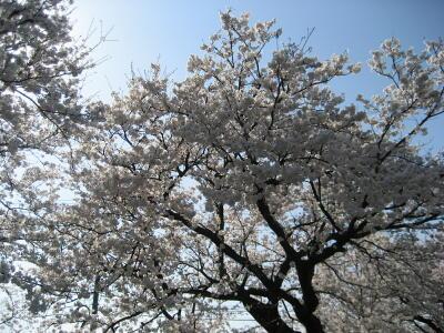 桜満開☆_c0113001_2042661.jpg