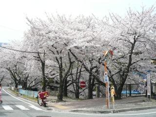 桜満開!<アクティブライフ夙川>_c0107602_13292937.jpg
