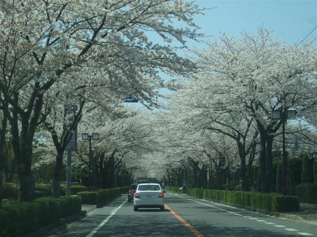 桜並木_b0120103_1903780.jpg