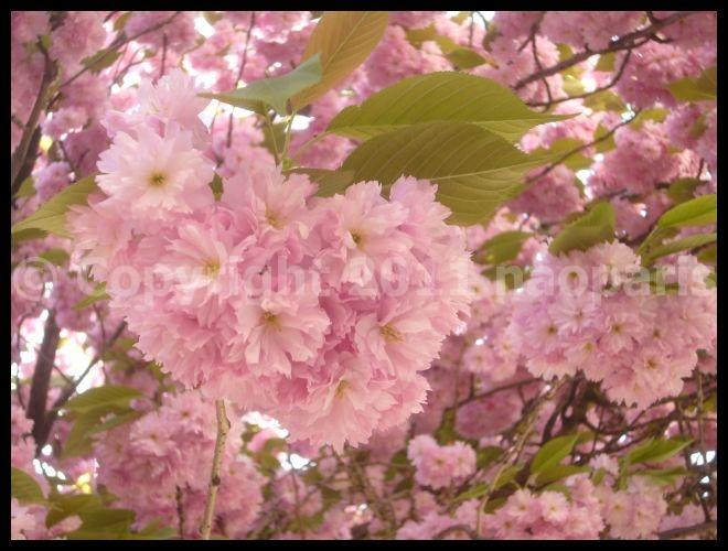 【サクラ】4月6日ノートルダム界隈(PARIS)_a0008105_19491863.jpg