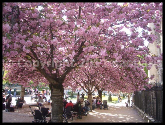 【サクラ】4月6日ノートルダム界隈(PARIS)_a0008105_1950783.jpg