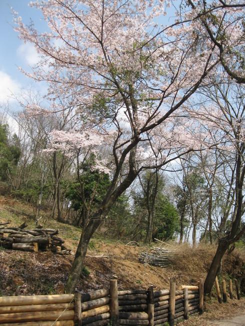 「桜満開~!!!!GGV日田」へ~~_a0125419_8581043.jpg