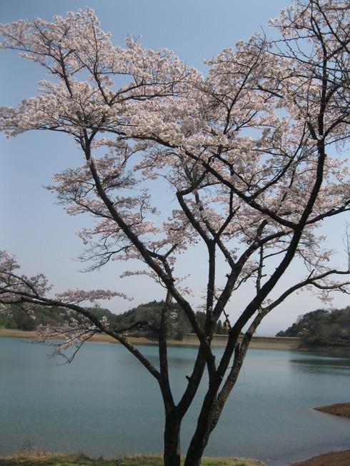 「桜満開~!!!!GGV日田」へ~~_a0125419_90972.jpg