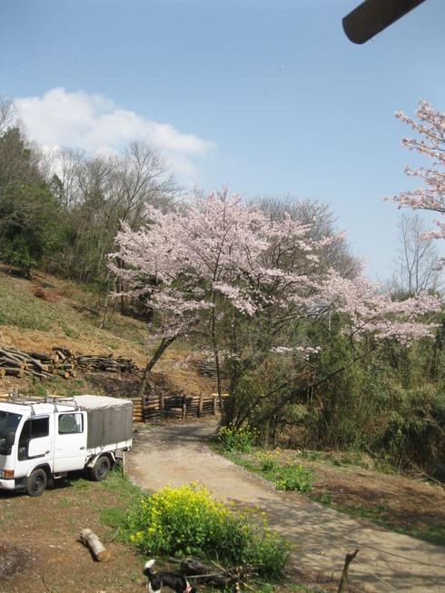 「桜満開~!!!!GGV日田」へ~~_a0125419_911714.jpg
