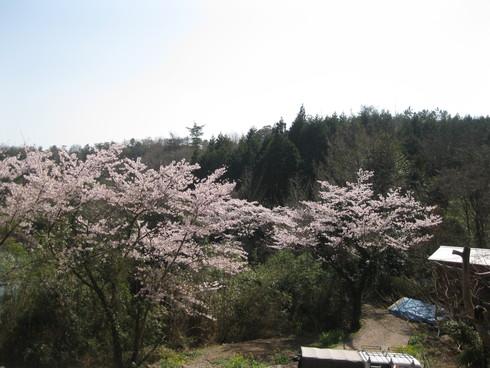 「桜満開~!!!!GGV日田」へ~~_a0125419_92643.jpg
