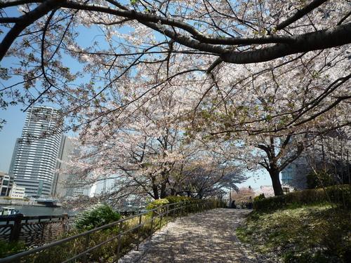 心を癒してくれる桜。。_b0211926_1522849.jpg