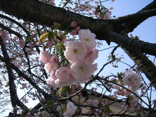 冷却還元(CRF)の窯が出ました & 桜開花情報♪_e0046128_1501521.jpg