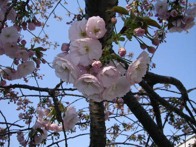 冷却還元(CRF)の窯が出ました & 桜開花情報♪_e0046128_150577.jpg