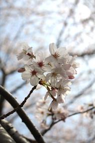 桜咲く_d0163448_1484769.jpg