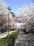 桜が満開ですね~☆_d0118053_1471467.jpg