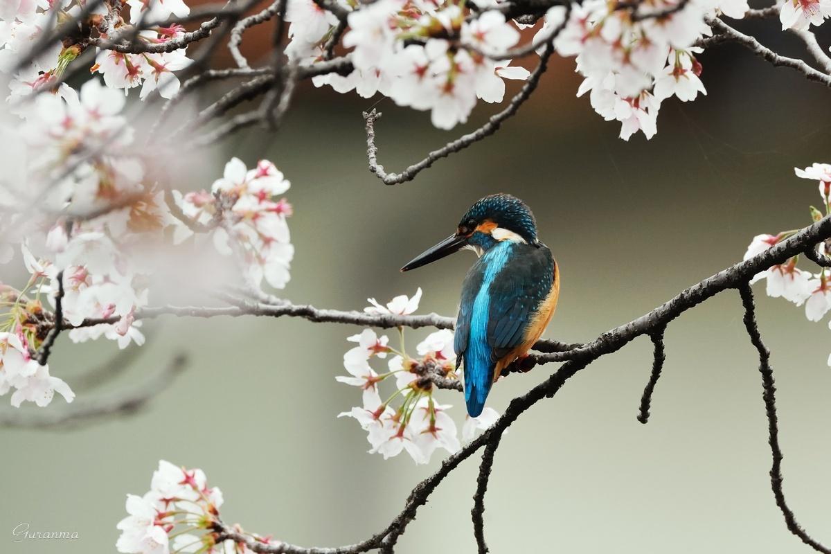 桜カワセミ・・_c0124055_057114.jpg