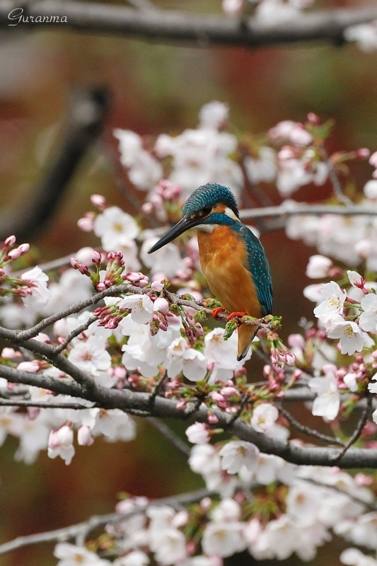 桜カワセミ・・_c0124055_0572887.jpg
