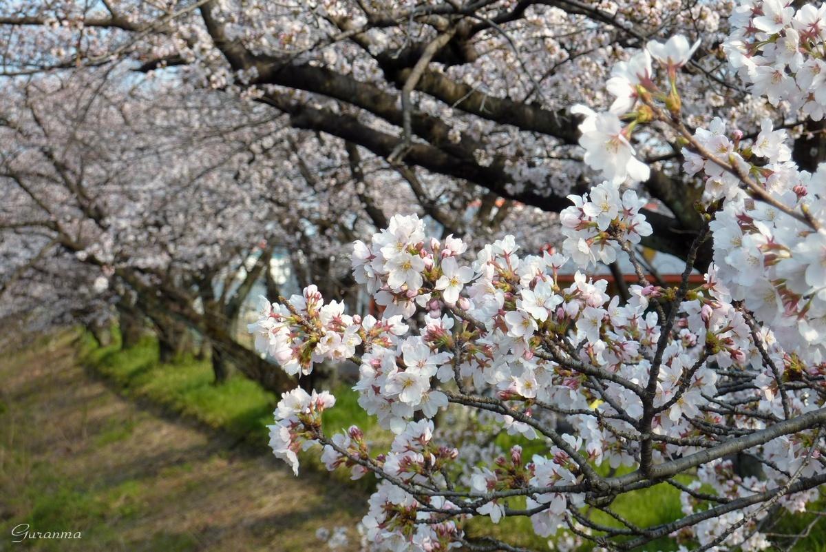 桜カワセミ・・_c0124055_0574465.jpg