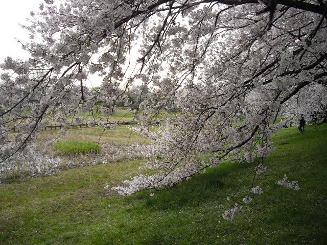 もう一度桜を見に行きました~_d0116059_12171941.jpg