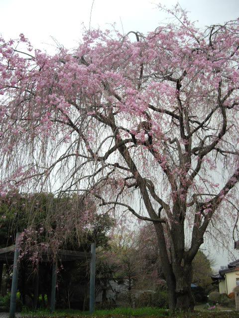 もう一度桜を見に行きました~_d0116059_12212721.jpg