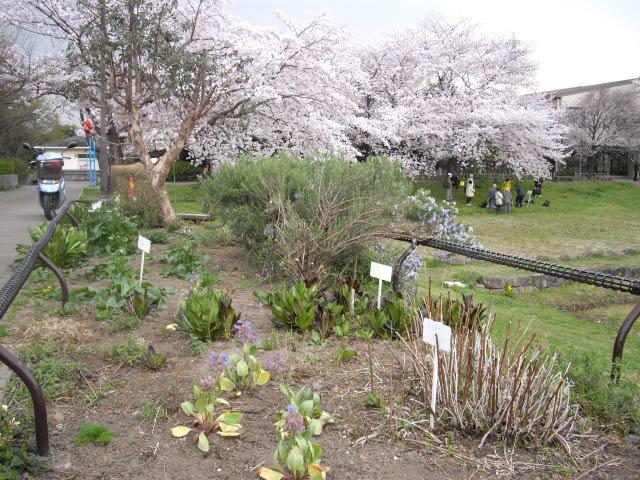 もう一度桜を見に行きました~_d0116059_12245269.jpg