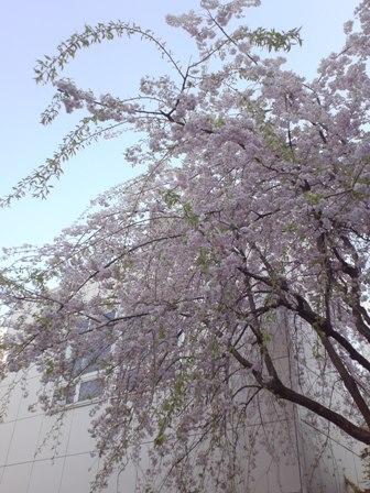 東京の桜_f0178060_1911593.jpg