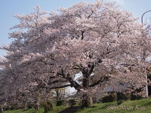 賀茂川の桜  2011年4月_a0164068_2225212.jpg