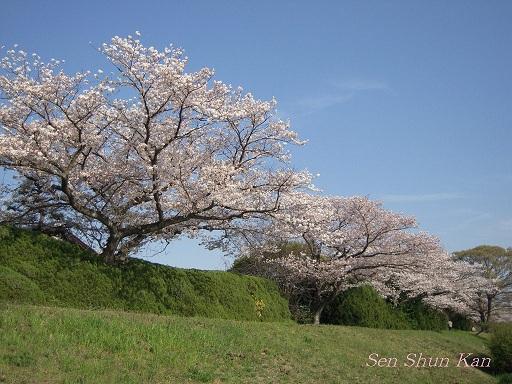 賀茂川の桜  2011年4月_a0164068_22253729.jpg