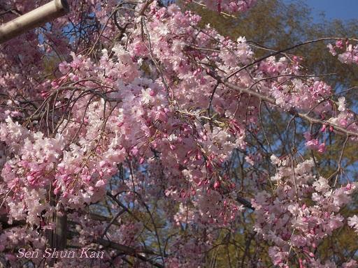 賀茂川の桜  2011年4月_a0164068_22264113.jpg