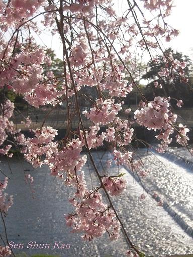 賀茂川の桜  2011年4月_a0164068_22271732.jpg