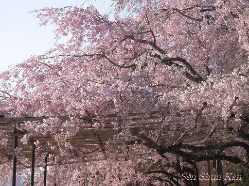 賀茂川の桜  2011年4月_a0164068_2227273.jpg