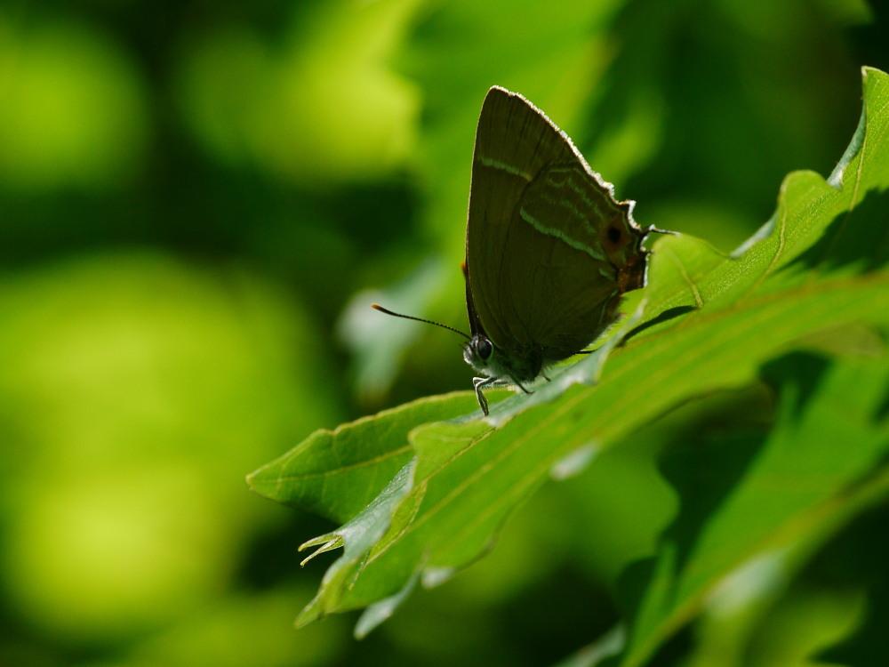 2010年・ジョウザンミドリシジミ  今年こそは新鮮個体を撮影したい。 2010.8.13-21  _a0146869_5313872.jpg