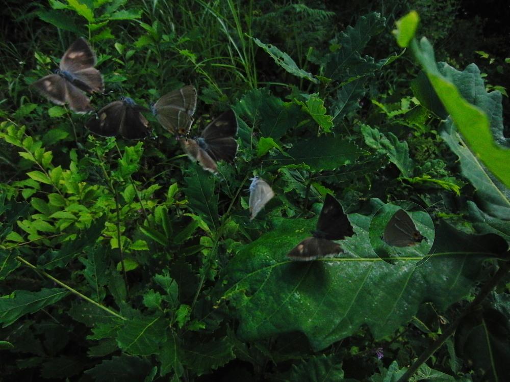 2010年・ジョウザンミドリシジミ  今年こそは新鮮個体を撮影したい。 2010.8.13-21  _a0146869_5315069.jpg
