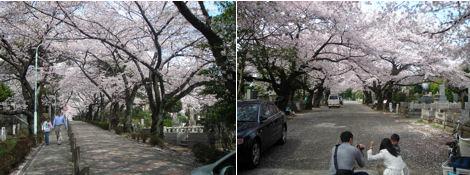 青山墓地の桜はとても綺麗である_d0183174_19355337.jpg
