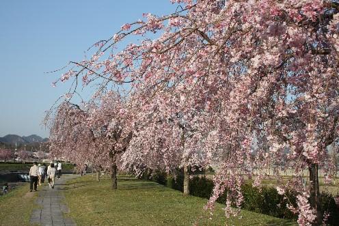 千鳥川桜堤公園、チャームポイントは紅八重枝垂桜♪_b0067283_1143888.jpg
